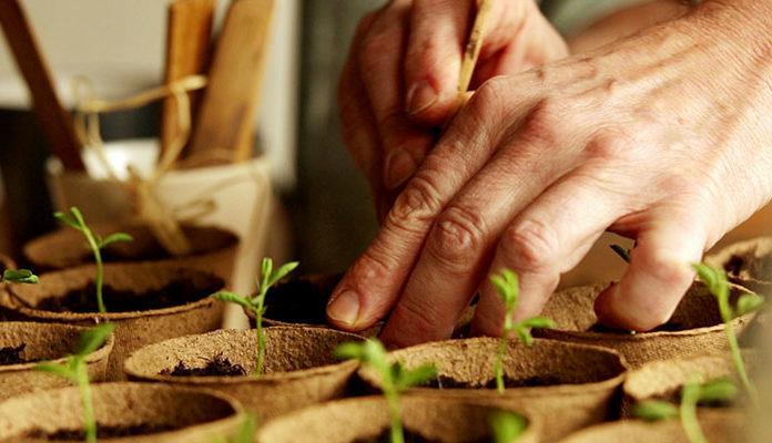 Hand pflanzt Saatlinge ein